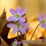 Photographing The Beautiful Iowa Woodland Wildflowers